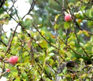 湖の脇に生えるりんごの木