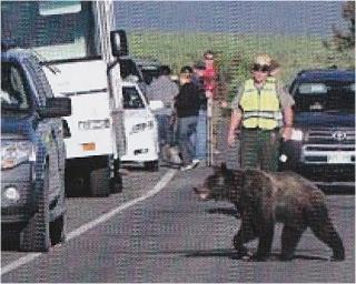 道路を横断して歩く熊と車