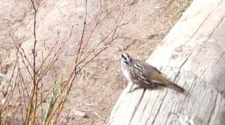 すずめに良く似た小さな鳥