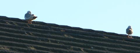 屋根の上のカモメ