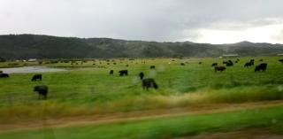 広い牧場で草を食む牛たち