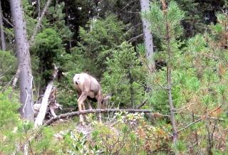 道路脇の木立にいたエルク