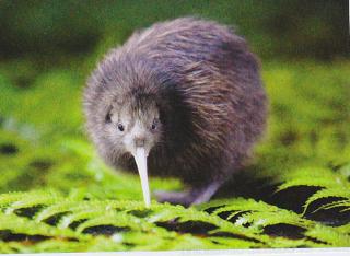ニュージーランドの固有種のキーウィの写真