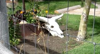 庭の植木鉢のかざりの牛の頭蓋骨
