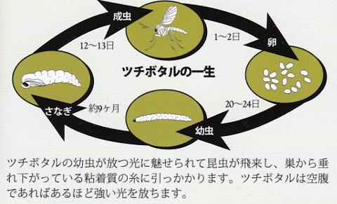 ツチボタルの生態