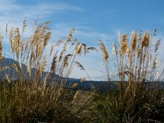 ススキの草