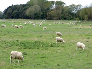 牧草地で草を食むヒツジの群れ
