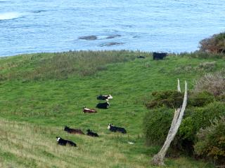 草原で休む牛達