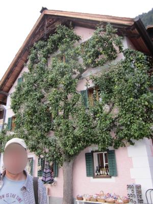 壁に生きている木を塗りこんでいる家